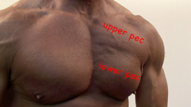 upper and lower pectoral muscles